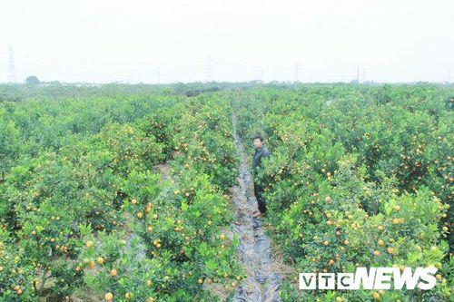 Ngắm vườn quất cảnh 'lột xác' từ những cây bỏ đi của nông dân Hưng Yên