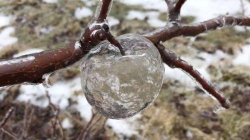 Xuất hiện 'quả táo ma' tại vườn cây ở Michigan