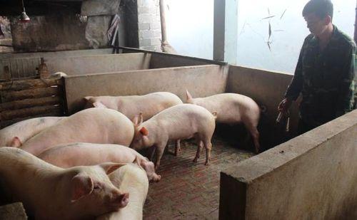 Không tiêm phòng vắc-xin, nhiều gia súc mắc bệnh lở mồm long móng
