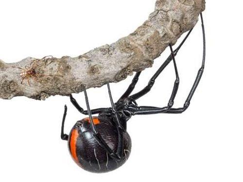 Phát hiện họ hàng mới của nhện 'Góa phụ đen' có kích thước khổng lồ