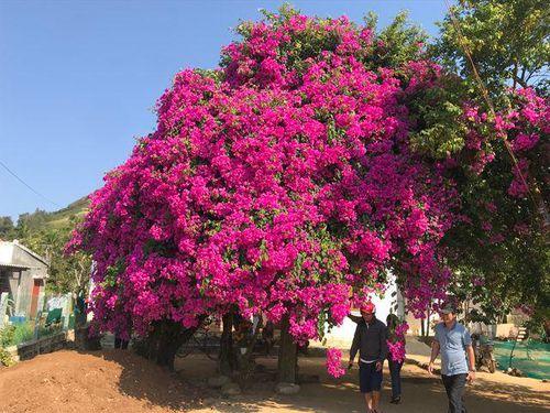 Cây hoa giấy cổ thụ đỏ rực khoảnh trời: Ai đến Lý Sơn cũng check-in