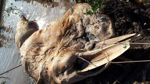 Liên tiếp phát hiện xác cá voi hơn 10 tấn dạt vào bờ biển ở miền Tây