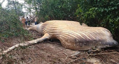 Phát hiện xác cá voi lưng gù trong rừng rậm Brazil