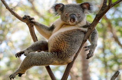 Gấu Koala đực gợi cảm, khoe dáng không kém siêu mẫu