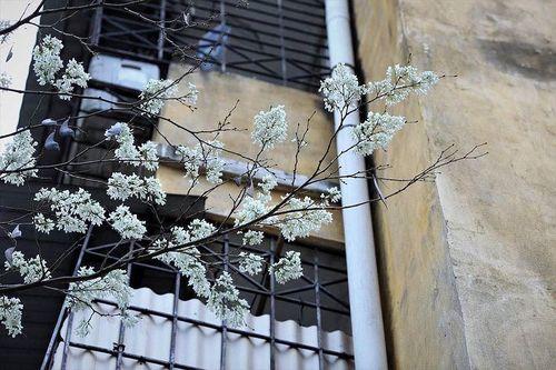 Hà Nội trắng muốt hoa sưa