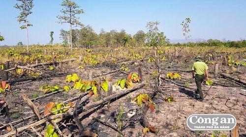 Hàng loạt cánh rừng khộp ở Gia Lai bị xóa sổ
