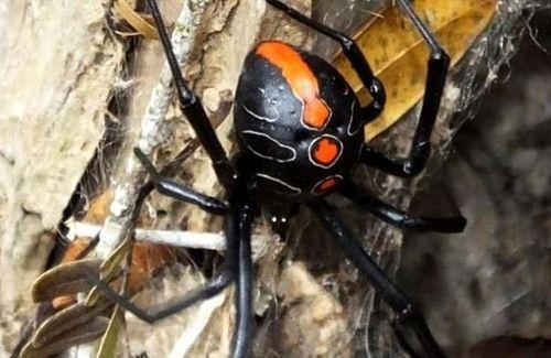 Họ hàng mới của nhện 'Góa phụ đen' có kích thước khổng lồ