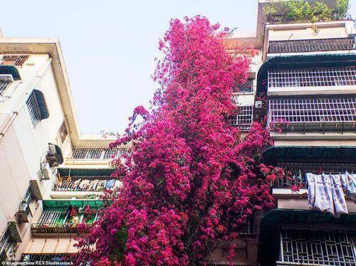 Cây hoa giấy cổ thụ leo cao 30m lên nóc nhà cao tầng như 'thác nước'