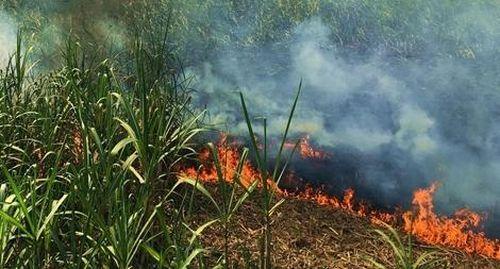Nhiều ruộng mía bị cháy, nông dân lao đao
