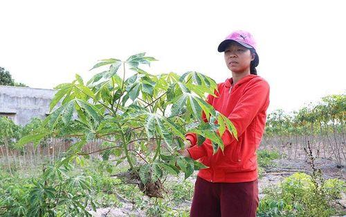 Nông dân Ninh Thuận lỗ nặng do bệnh khảm lá trên cây sắn