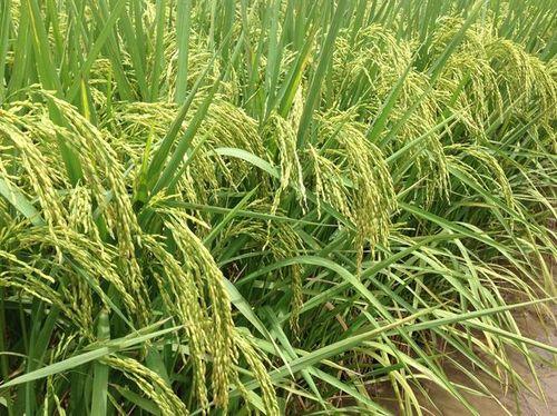 3 giống lúa được công nhận chính thức
