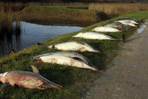 1.100 xác cá heo bị cắt xẻo tàn nhẫn dạt vào bờ biển Pháp