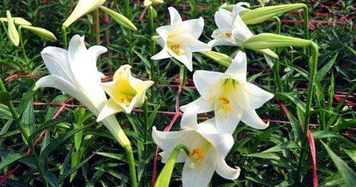 Cận cảnh hoa loa kèn bung sắc rực rỡ ở vùng đất mới