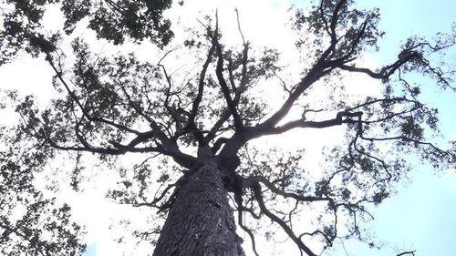 Chuyện kỳ bí quanh cây sao hơn 700 tuổi 'độc nhất' ở chùa Ba Phố