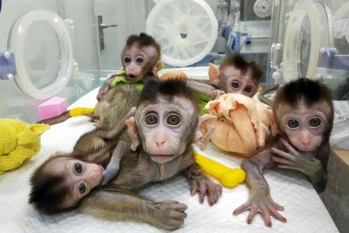 Đáng sợ những con khỉ mang gien não người ở Trung Quốc