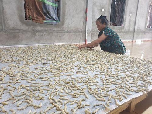 Nghệ An: Trồng dâu nuôi tằm – hướng đi mới trong phát triển kinh tế