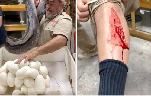Trăn cái hung dữ cắn nhân viên sở thú, bảo vệ ổ trứng vừa đẻ