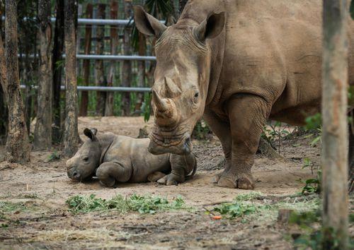 Cận cảnh 2 chú tê giác quý hiếm vừa chào đời tại Phú Quốc