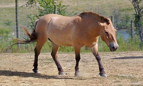 Khám phá 'độc' loài ngựa biểu tượng hệ động vật Mông Cổ