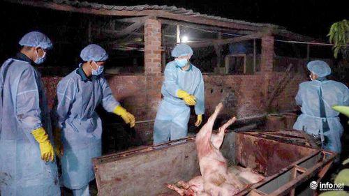 Bình Phước tiêu hủy hơn 200 con lợn nhiễm dịch tả lợn châu Phi