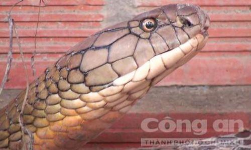 Những chuyện kể ly kỳ về rắn 'khổng lồ' ở núi Cấm