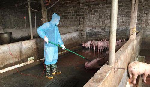Vì sao từ cuối tháng 4 dịch tả lợn châu Phi lây lan nhanh hơn?