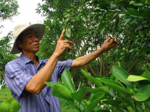 Giải pháp 'cứu' cây có múi ở Lai Vung: SX theo quy trình an toàn