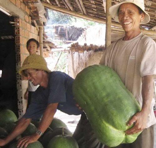 Về Bình Định xem làng bí đao 'khổng lồ'
