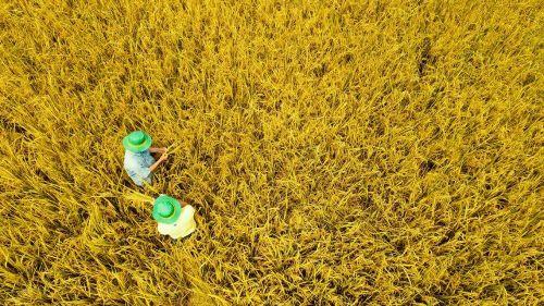 Bí kíp mùa vàng: Trúng mùa, lãi cao nhờ NPK Cà Mau