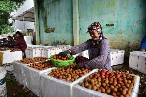 Bắc Giang: Sản lượng giảm, người trồng vải vẫn... vui