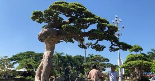 Quảng Ngãi: Mê mẩn với cây duối cổ giá 3,5 tỷ đồng tại Triển lãm sinh vật cảnh