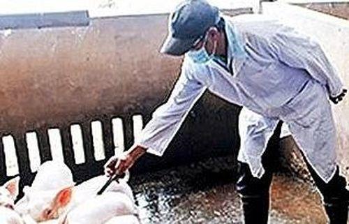 Sản xuất thành công vắc-xin phòng dịch tả lợn châu Phi