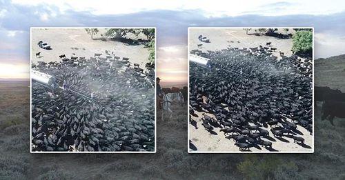 Cả nghìn con bò vây bồn chở nước và sự thực đáng sợ