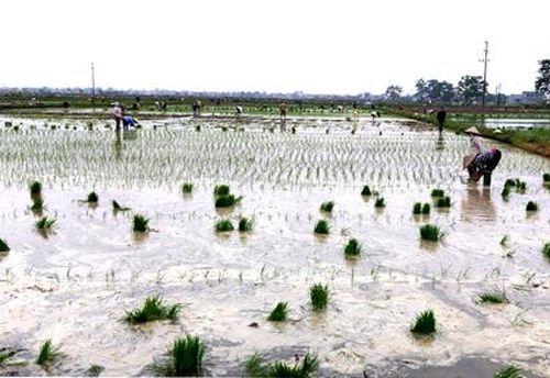 Yên Mô cơ bản hoàn thành gieo cấy lúa mùa