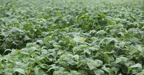 Trồng đậu tương rau cho hiệu quả cao