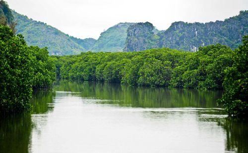 Những cánh rừng ngập mặn chống biến đổi khí hậu tuyệt đẹp ở Cát Bà