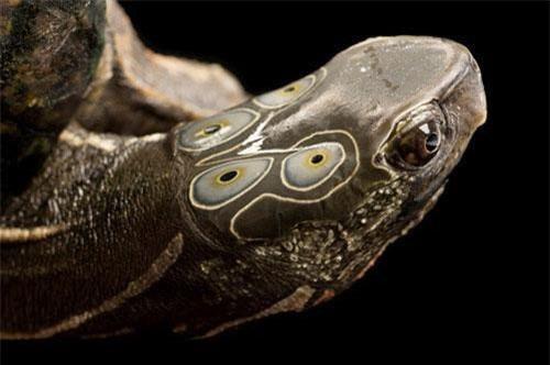 Giải mã loài rùa thiêng 6 mắt tiến vua