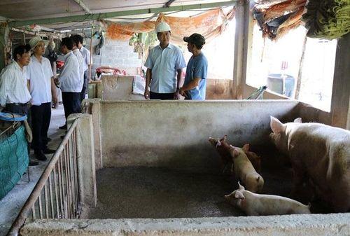Ninh Thuận, tỉnh cuối cùng của cả nước xuất hiện dịch tả lợn Châu Phi