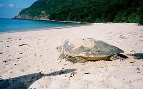 Hành trình 60 ngày bảo tồn loài rùa biển quý hiếm tại Côn Đảo, Bà Rịa - Vũng Tàu