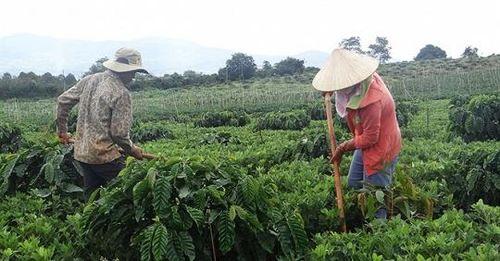 Cà phê tái canh ở Tây Nguyên đối mặt với dịch bệnh