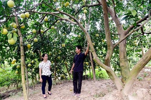 Những gốc bưởi nghìn quả ở xứ Tuyên
