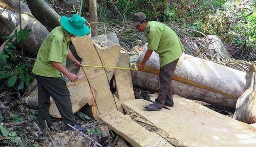 Phú Yên: Bị kiểm lâm phát hiện, lâm tặc bỏ lại đồ nghề cùng gỗ quý, tháo chạy thoát thân