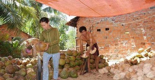 Để giá dừa Bình Định không lệ thuộc vào... Trung Quốc