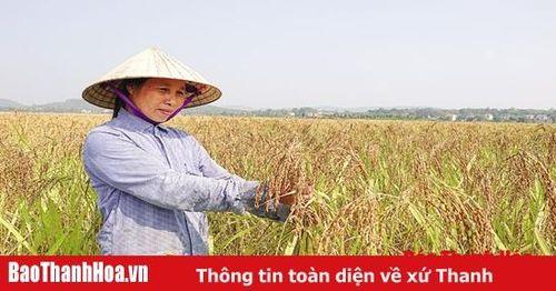 Chuyện về lúa nếp hạt cau