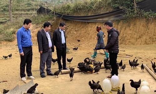 Lào Cai: Si Ma Cai phát triển mô hình gà đen của người Mông giúp người dân xóa đói giảm nghèo