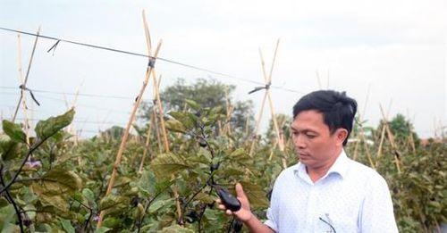 Thận trọng khi bắt tay doanh nghiệp trồng cà tím Nhật