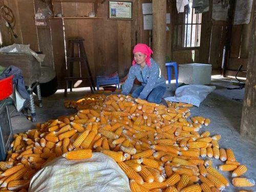 Tin NN Tây Bắc: Cây ngô 'thất thế', Đà Bắc chuyển đổi cơ cấu cây trồng
