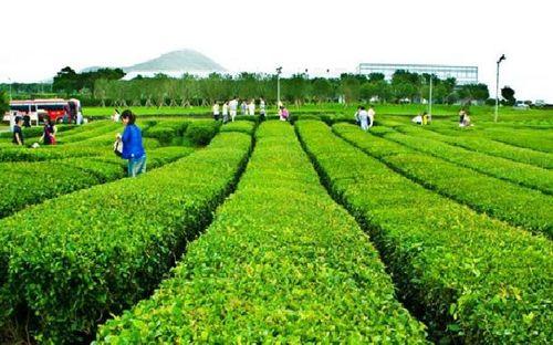 Khám phá bốn mùa trà xanh ở Nhật Bản, Hàn Quốc và Đài Loan