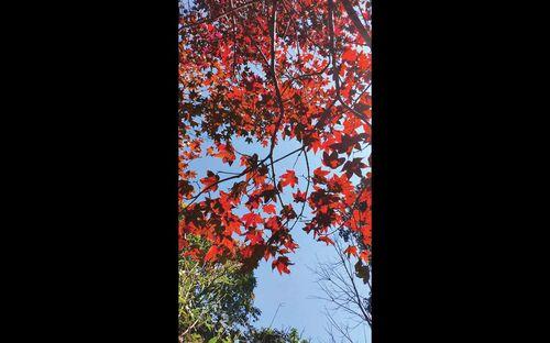 Miền hoài cổ mùa lá phong