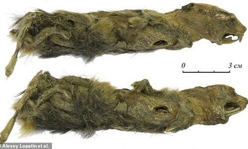 Đi dạo trên bờ sông, cô bé tình cờ phát hiện xác ướp có niên đại hơn 41.000 năm trong tảng băng vĩnh cửu
